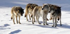 Lessons from Isle Royale's Wolves and Moose | Michigan Radio