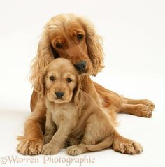 Dogs: Golden Cocker Spaniel and pup.