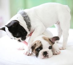 'Here We Go Again'....... Playing French Bulldogs.