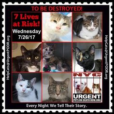 "TO BE DESTROYED 7/26/17 - - Info  Please share View tonight's list here: http://nyccats.urgentpodr.org/tbd-cats-page/. The shelter closes at 8pm. Go to the ACC website( http:/www.nycacc.org/PublicAtRisk.htm) ASAP to adopt a PUBLIC LIST cat (noted with a ""P"" on their profile) and/or … CLICK HERE FOR ADDITIONAL…Please…Please...-  Click for info & Current Status: http://nyccats.urgentpodr.org/to-be-destroyed-32017/"