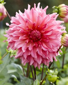 "Islander Dahlia (10"" bloom; 3 1/2' bush): salmon and dark pink ruffled petals."