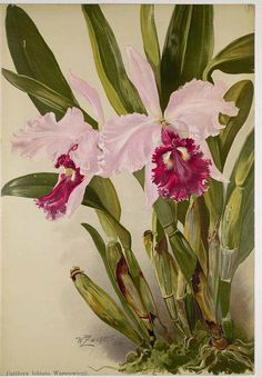 43566 Cattleya labiata Lindl. var. warscewiczii / Orchis, vol. 1: t. 7 (1907) [W. Zachert]