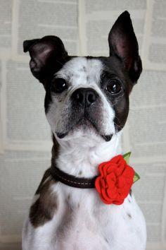 Red Felt Flower Dog Collar Accessories. $10.95, via Etsy.
