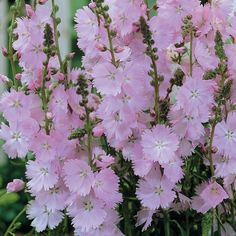 Sidalcea 'Rosaly' Prairie Mallow. We could try it; beautiful little tiny hollyhock, FYF perennial, supposedly not terribly fond of hot humid summers