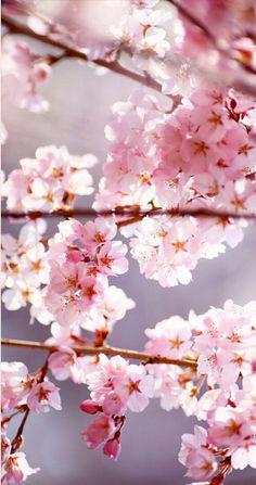 Sakura - cherry blossom time - renewal - in Japan . Pretty In Pink, Pink Flowers, Beautiful Flowers, Ikebana, Sakura Cherry Blossom, Cherry Blossoms, Spring Blooms, Flower Wallpaper, Flower Photos