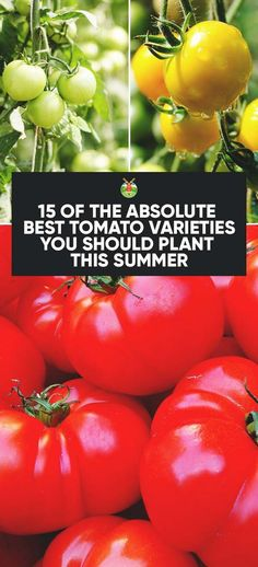 Sharing with you some of the best tomato varieties that will help you to boost your tomato harvest this year and fulfill every recipe idea you have in mind.