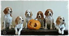 Beagle Halloween