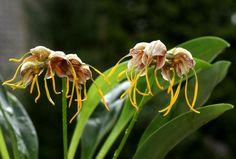 Masdevallia: unas orquídeas extremadamente raras y decorativas - http://www.jardineriaon.com/masdevallia-unas-orquideas-extremadamente-raras-y-decorativas.html