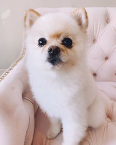 pomeranian dog, pom puppy, cute animals, baby animas, adorable animals, pets, puppies, dogs, White Pomeranian, Pomeranian Puppy, Pet Puppy, Dog Cat, Cute Puppies, Dogs And Puppies, Buzzfeed Animals, Cute Baby Animals, Dog Life