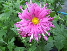 Pink Violet chrysanthemum x morifolium