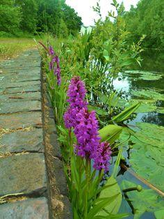 """ Purple flowers growing alongside the canal, Aldridge, Walsall, England All Original Photography by http://vwcampervan-aldridge.tumblr.com """