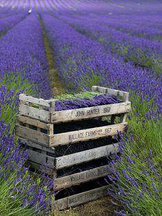 Lavender Harvest. Just breath-tacking.
