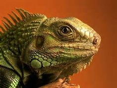 Lizard - Yahoo Image Search Results