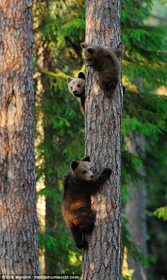 Three adorable bear cubs have been snapped showing off their impressive tree climbing skills