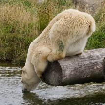 Thristy polar bear....so super cute!
