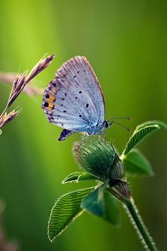 Short-Tailed Blue Butterfly by chibitomu Beautiful Bugs, Beautiful Butterflies, Beautiful Pictures, Beautiful Things, Butterfly Kisses, Blue Butterfly, Flying Insects, Butterflies Flying, Macro Photography