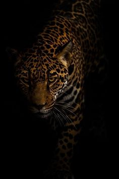 Jaguar by Jonathan Truong amazing car picture # # Cute Animal Photos, Animal Pictures, Animals Photos, Beautiful Cats, Animals Beautiful, Jaguar Tier, Animals And Pets, Cute Animals, Wild Animals