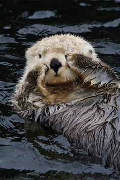 The most significant threat to sea otters is oil spills. When their fur is soaked with oil, it loses its ability to retain air, and the animals can quickly die from hypothermia. The liver, kidneys, and lungs of sea otters also become damaged after they inhale or ingest oil.