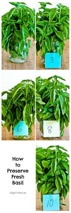 If you have a bunch of fresh basil and you'd like to keep it fresh a little longer, here's how to preserve fresh basil on the countertop! Spices And Herbs, Fresh Herbs, Storing Basil, Growing Herbs, Growing Vegetables, Preserving Food, Plant Care, Herbal Remedies, Food Hacks