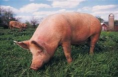 How toestablish a commercial pig farm: As Nigeria makes efforts to diversify its revenue base away from oil, experts are making case for…
