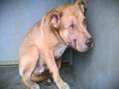Extremely urgent!    Heartbreaking. Please share this sweet little boy. Downey shelter, CA.    Impound No: A4557904  Impound Date: 3/27/2013  Sex: Male  Primary Breed: PIT BULL  Age: 1 Years, 0 Months  Location: DOWNEY  Cage No.: D109  https://www.facebook.com/photo.php?fbid=293553070775104=a.118132861650460.19466.100003612410268=1_count=1