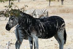 "A melanistic zebra - the ""opposite"" of the zebra with ..."