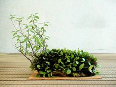 """kusamono (literally """"grass thing"""") and shitakusa (literally """"undergrass"""") are potted collection of plants designed to either be viewed in accompaniment with bonsai, or alone. Ferns Garden, Moss Garden, Ikebana, Indoor Garden, Indoor Plants, Tiny Garden Ideas, Bonsai Art, Terrarium Plants, Aquatic Plants"""