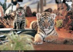 some cute tigers