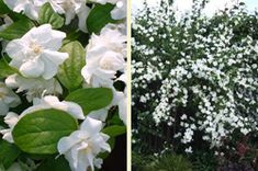 Teltvirágú jezsàmen Garden, Flowers, Plants, Garten, Lawn And Garden, Gardens, Plant, Gardening, Royal Icing Flowers