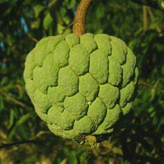 Frutas de A a Z - Fruta do Conde