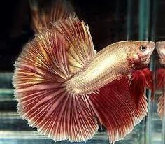 half moon betta, red copper