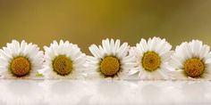 horizontal row of daisies on a white surface with reflection against
