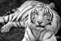 Tiikeri by roger5443 on DeviantArt