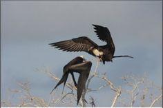 Algunos organismos son realmente sorprendentes. En el caso de un artículo reciente, se explica cómo consigue un pájaro, conocido como fragata común (Fregata minor) pasar meses en vuelo. Sin posarse ni una sola vez, mientras recorre en enorme espacio de su migración entre África y las islas Galápagos,