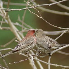 House Finches- I have a pair that visit me every year and just bought a new birdhouse for them