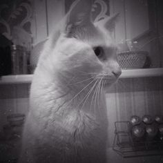 #cat #whitecat