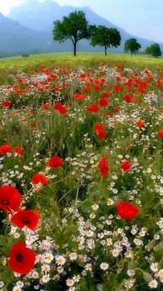 meadow: poppies and daisies Spring Pictures, Nature Pictures, Wild Flower Meadow, Wild Flowers, Flowers Nature, Beautiful Landscapes, Beautiful Gardens, Landscape Photography, Nature Photography