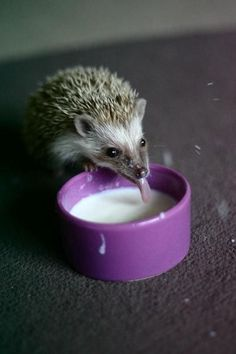 SO CUTE! (But don't believe the myths! Hedgies should NOT be fed milk!)