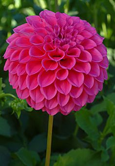dahlia 'knockout' (dahlia à fleur simple) : vivaces originaires du