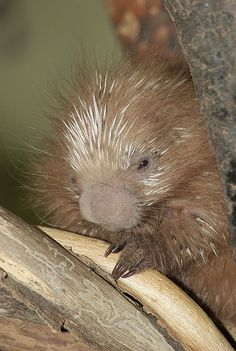 A baby porcupine is called a porcupette or pup, but porcupette is more fun and much less common!
