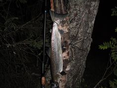 just a salmon on a night trip to Namsen