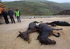 Malatya'da Trafik Kazası Yarış Atları Telef Oldu