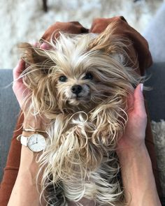 14 Funny Yorkshire Terrier Pictures That Will Make You Smile I Love Dogs, Puppy Love, Cute Dogs, Little Christmas Trees, Yorkshire Terrier Puppies, Yorkie Puppy, Teacup Puppies, Pet Loss, Yorkies