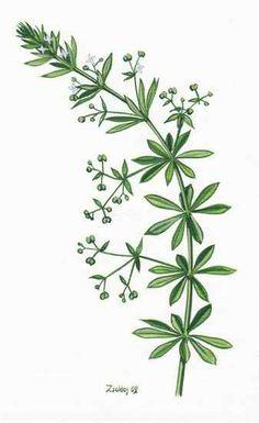 Közönséges galaj Health 2020, Herbal Medicine, Herbalism, Medical, Healthy, Plants, Natural, Herbs, Tatuajes