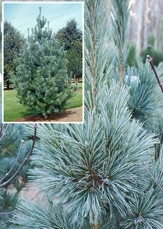 Pinus sylvestris 39 sopley wb 39 other pines pinterest for Pflanzengestaltung garten