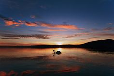 swans in lake - Google Search