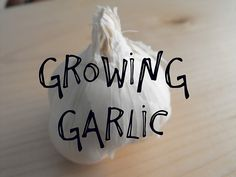 Growing garlic in the garden