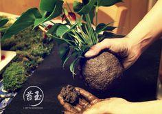 Je vous présente ici la technique la plus facile pour faire un kokedama avec une terre bien collante. Elle est utilisable pour la majorité des plantes.