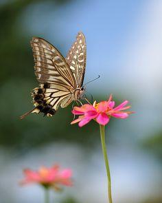 ~~Swallowtail butterfly by myu-myu~~