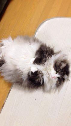 Hyne, Norwegian Forest Cat ごろりんハイネ